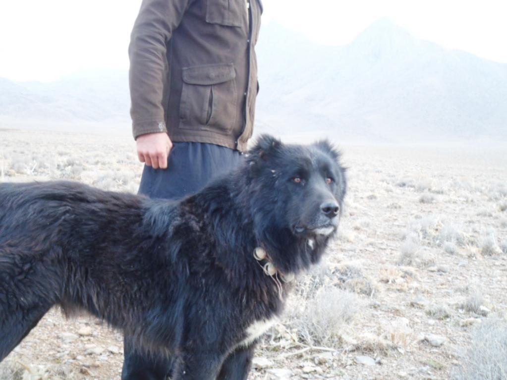 عکس سگ قهدریجانی